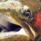 Rainbow Trout Photography Argentina